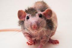 Bald sphinx rat. Royalty Free Stock Image