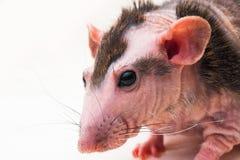 Bald sphinx rat. Stock Photos