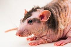 Bald sphinx rat. Royalty Free Stock Photography