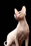 Bald Sphynx Cat. Naked cat Isolated Stock Image