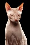 Bald Sphynx Cat. Naked Cat Squinted on Black. Bald Sphynx Cat. Naked Cat Squinted Isolated on Black Stock Photography