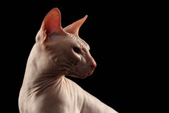 Bald Sphynx Cat in Profile Isolated on Black Royalty Free Stock Images