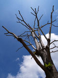 Bald Tree. A cut down tree which there's no more leaves Royalty Free Stock Photography
