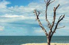 Bald tree with blue sky and ocean behind Royalty Free Stock Image