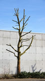 Bald tree infront of wall Stock Photos