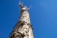 Bald tree Royalty Free Stock Image