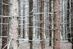 Bald tree trunks in forest in winter. Bald pine tree trunks in forest in winter Royalty Free Stock Images