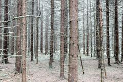 Bald tree trunks in forest in winter. Bald pine tree trunks in forest in winter Royalty Free Stock Image