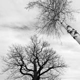 Bald trees in black and white Royalty Free Stock Photography