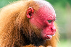 Bald Uakari Closeup Stock Image