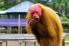 Bald Uakari Monkey. Closeup view of a Bald Uakari Monkey eating near Iquitos, Peru Royalty Free Stock Photo