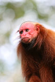 Bald Uakari Monkey Stock Photos