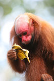 Bald Uakari Royalty Free Stock Photo