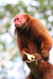 Bald Uakari Stock Image