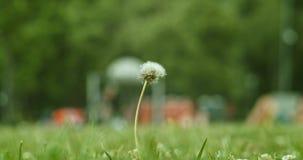 Bald white dandelion closeup summer park. Bald white dandelion closeup. Summer stock video