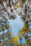 Baldacchino degli alberi di pini Rami superiori del legno in conifero per Immagini Stock