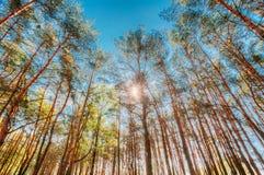 Baldacchino degli alberi di pini Rami superiori del legno in conifero per la vista di angolo Fotografie Stock