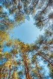 Baldacchino degli alberi di pini Rami superiori del legno in foresta di conifere Fotografia Stock Libera da Diritti