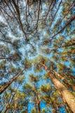 Baldacchino degli alberi di pini Rami superiori del legno in foresta di conifere Immagini Stock
