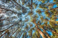 Baldacchino degli alberi di pini Rami superiori del legno in foresta di conifere Immagine Stock