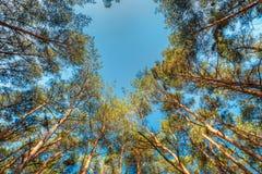 Baldacchino degli alberi di pini Rami superiori del legno in foresta di conifere Fotografie Stock