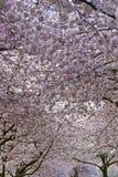 Baldacchino del fiore di ciliegia a tempo di sorgente immagine stock
