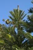 Baldacchino del pino di wollemi in giardini botanici fotografia stock libera da diritti