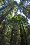 Baldacchino del Redwood in legno di Muir Fotografia Stock