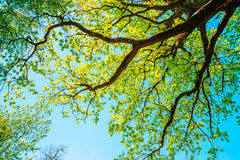 Baldacchino della quercia alta con fogliame fresco nell'estate di primavera Upp Immagini Stock Libere da Diritti