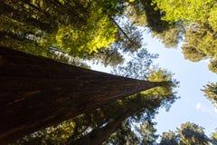 Baldacchino della sequoia Fotografia Stock Libera da Diritti