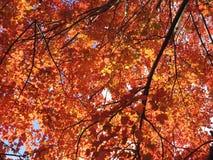 Baldacchino delle foglie rosse Immagine Stock Libera da Diritti