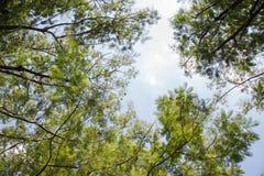 Baldacchino di alberi verde Fotografie Stock