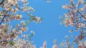Baldacchino di fioritura del fiore di ciliegia archivi video