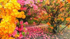 Baldacchino di Rhodadendron, estate con i petali caduti Fotografia Stock