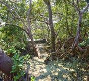 Baldacchino di una mangrovia Immagine Stock