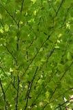 Baldacchino di verde Fotografia Stock