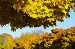 Baldachim żółci liście klonowi Zdjęcia Stock