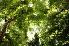 Baldachim drzewo Obrazy Royalty Free