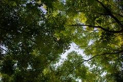 Baldachim Japoński Pagodowy drzewo zdjęcie stock