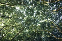 Baldachim Płaskich drzew gałąź w lecie obraz royalty free