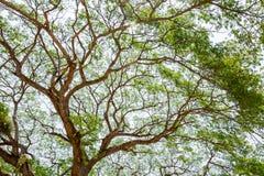 Baldachim Podeszczowy drzewo na słonecznym dniu Zdjęcia Royalty Free