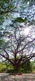 Baldachim Podeszczowy drzewo (Saman) Zdjęcia Royalty Free
