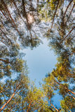 Baldachim sosen drzewa Górne gałąź drewna W Iglastym Dla Obrazy Stock