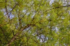 Baldachim wierzbowy drzewo z światłem zmierzch zdjęcia stock