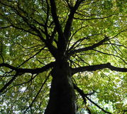 baldachimu drzewo obraz royalty free