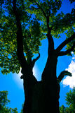 baldachimu drzewo zdjęcia royalty free