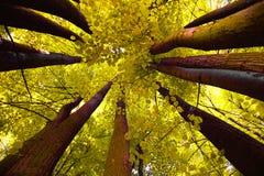 baldachimu drzewo obrazy royalty free