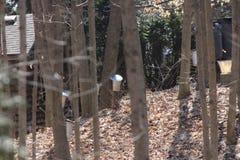 Baldes da coleção da seiva em árvores de bordo Imagens de Stock Royalty Free