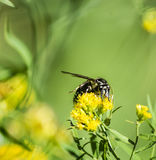 Baldfaced hornet wasp on goldenrod wildflower Royalty Free Stock Photography