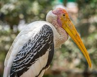 Baldheaded stork in Mysore Zoo Royalty Free Stock Image
